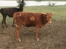 Big Red X CDC Tempting Rio Heifer